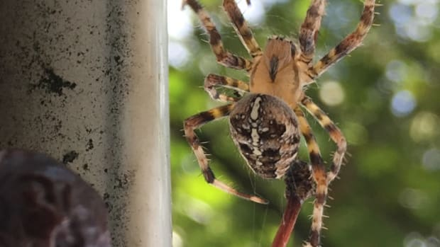 araneus-diadematus-the-one-year-life-cycle-of-the-cross-orb-weaver-spider