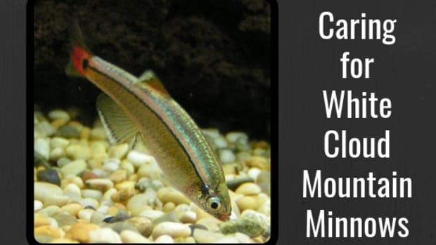 fish-care-white-cloud-mountain-minnows