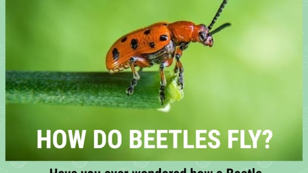 how-do-beetles-fly