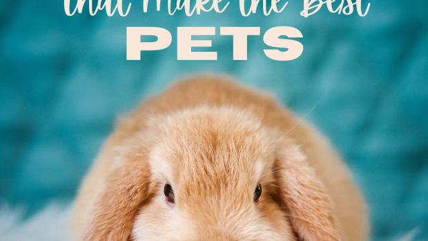 best-pet-rabbit-breeds