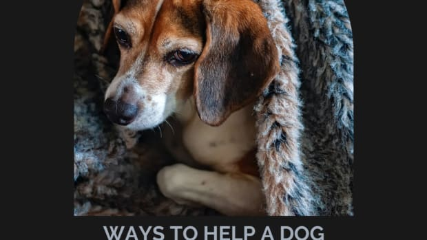 how-to-help-a-dog-in-heat