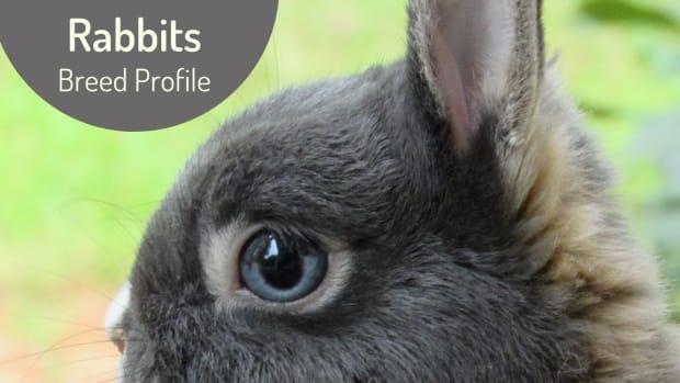 rabbit-breed-profile-the-netherland-dwarf