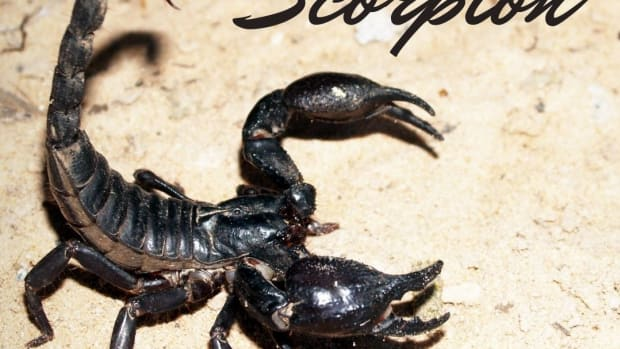 what-to-feed-your-pet-scorpion