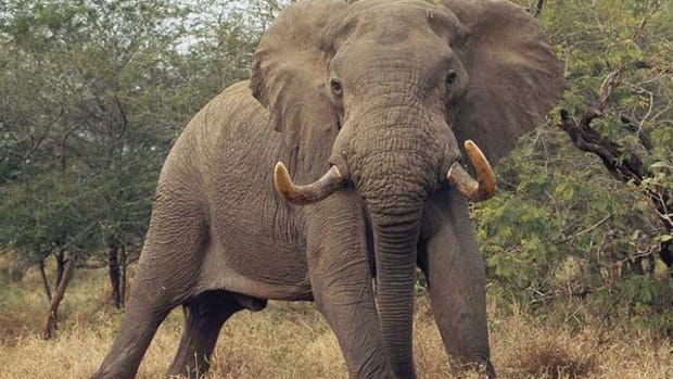 a-brief-history-of-elephants