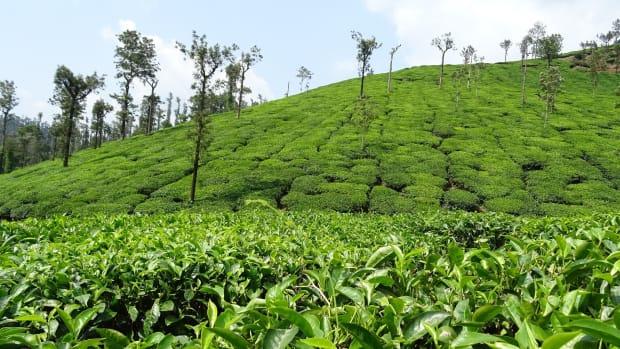 top-5-destinations-for-the-tea-in-sri-lanka