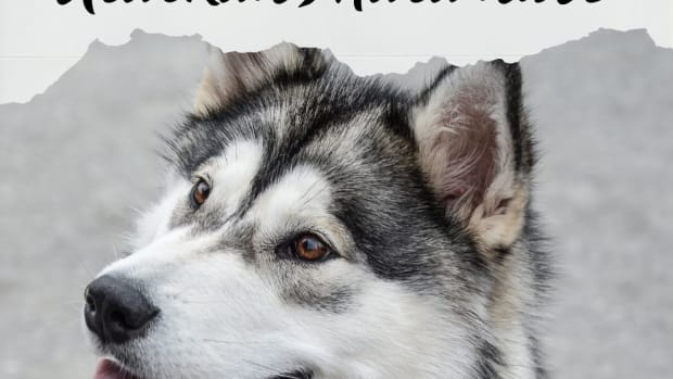 how-to-train-alaskan-malamute-dogs