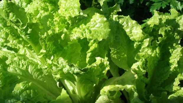 why-should-you-eat-lettuce-everyday