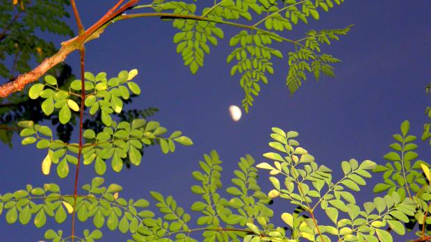 how-to-grow-a-moringa-tree-a-home-school-science-experiment
