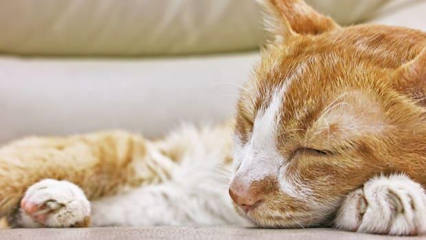 symptoms-of-kidney-disease-in-cats