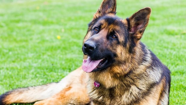 prescription-dog-food-for-german-shepherds