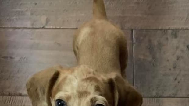 the-joy-of-raising-dachshund-puppies