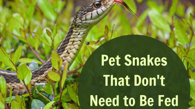 pet-snakes-you-dont-need-to-feed-rodents
