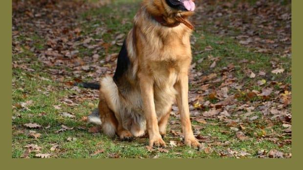 large-dog-breed-information