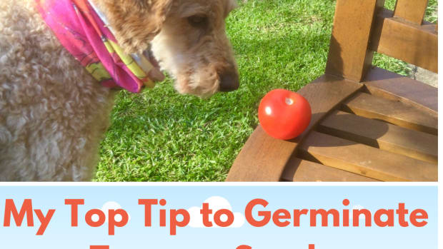 my-top-tip-to-improve-tomato-seed-germination