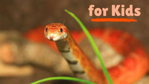 best-pet-snake-species-for-children-of-any-age