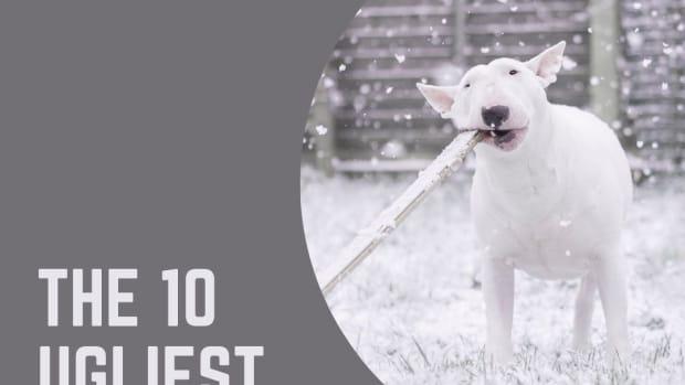 top-10-ugliest-dog-breeds