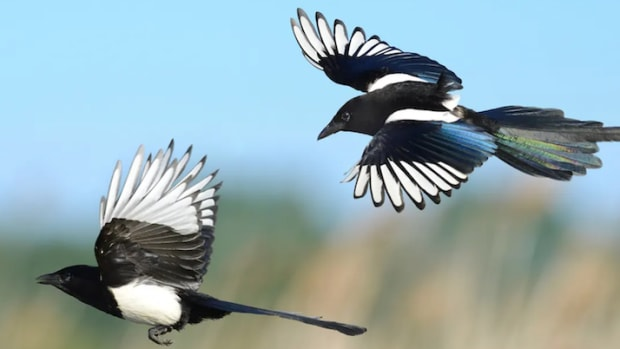 smartest-birds-of-all-time-crows-raven-and-magpie