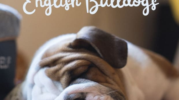 great-names-for-english-bulldogs