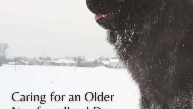 caring-for-your-older-newfoundland-dog
