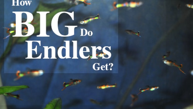 how-big-do-endlers-get