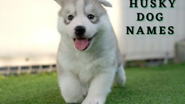 300-husky-dog-names-with-meanings