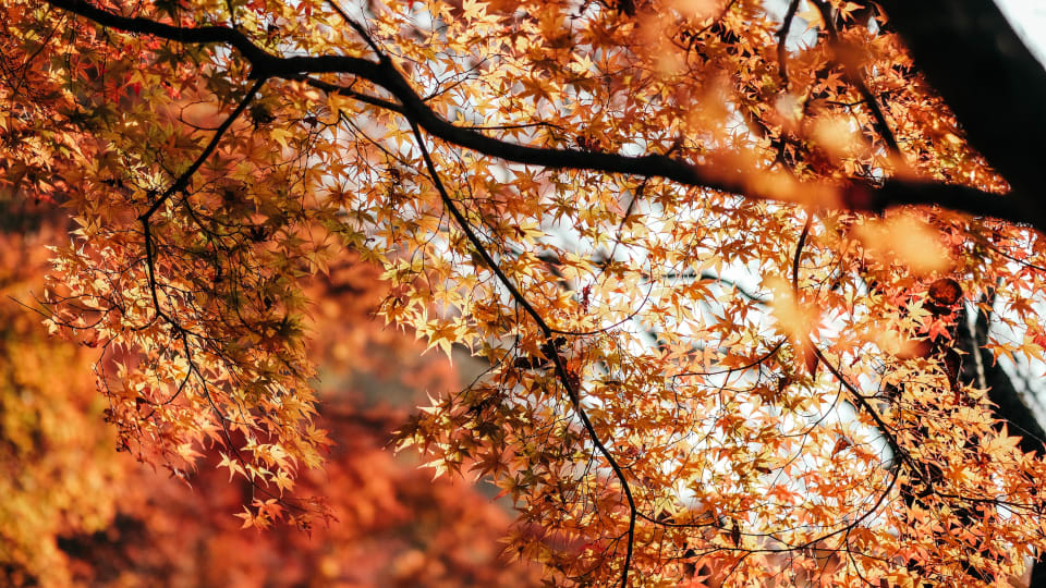 The Maple Tree at Twilight, Autumn Leaf Colors, and a Poem