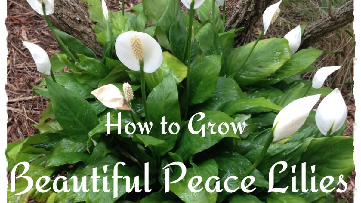 How To Take Care Of A Peace Lily Dengarden Home And Garden