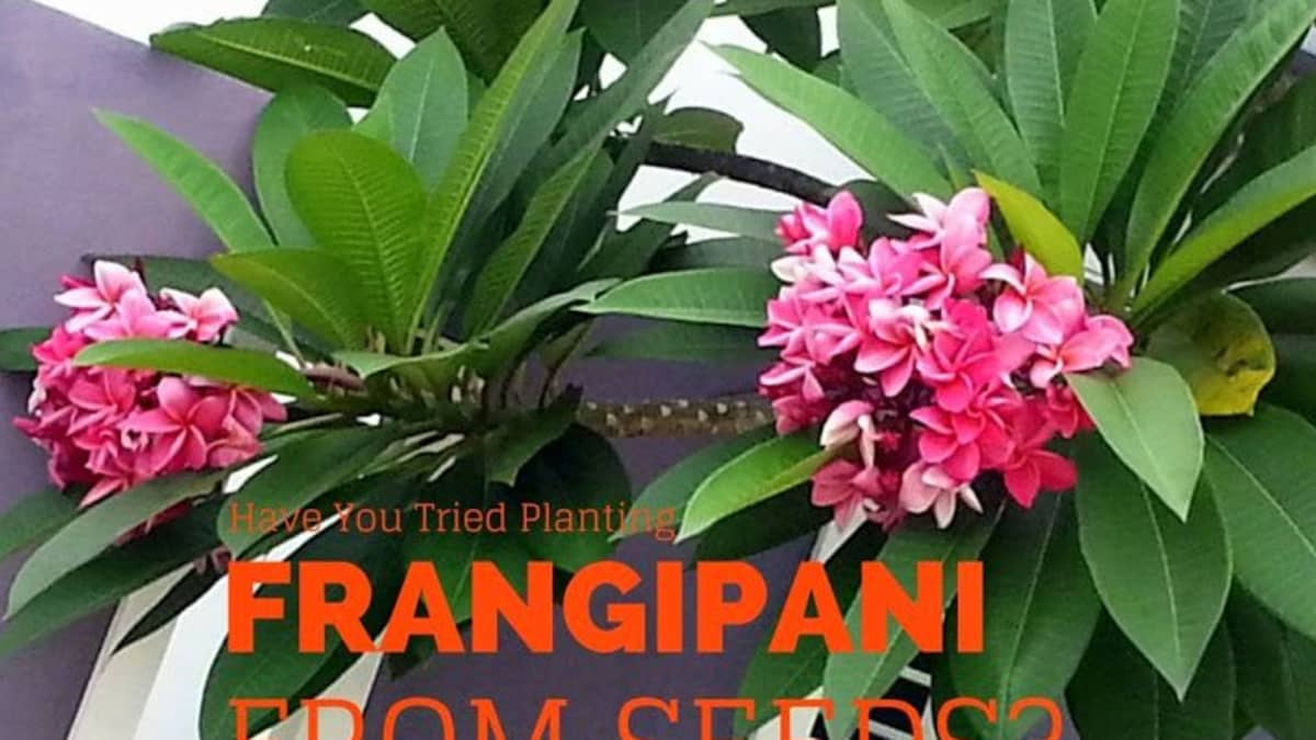 How I Plant Plumeria Or Frangipani From Seeds Dengarden