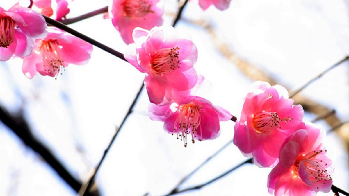 Chinese Symbols And Meanings Plum Blossoms And Water Narcissus Chinese New Year Symbol Of Prosperity Hubpages