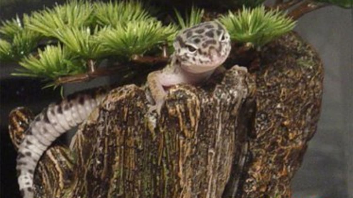 Native Habitat Of The Leopard Gecko And Setting Up A Natural Enclosure Pethelpful By Fellow Animal Lovers And Experts