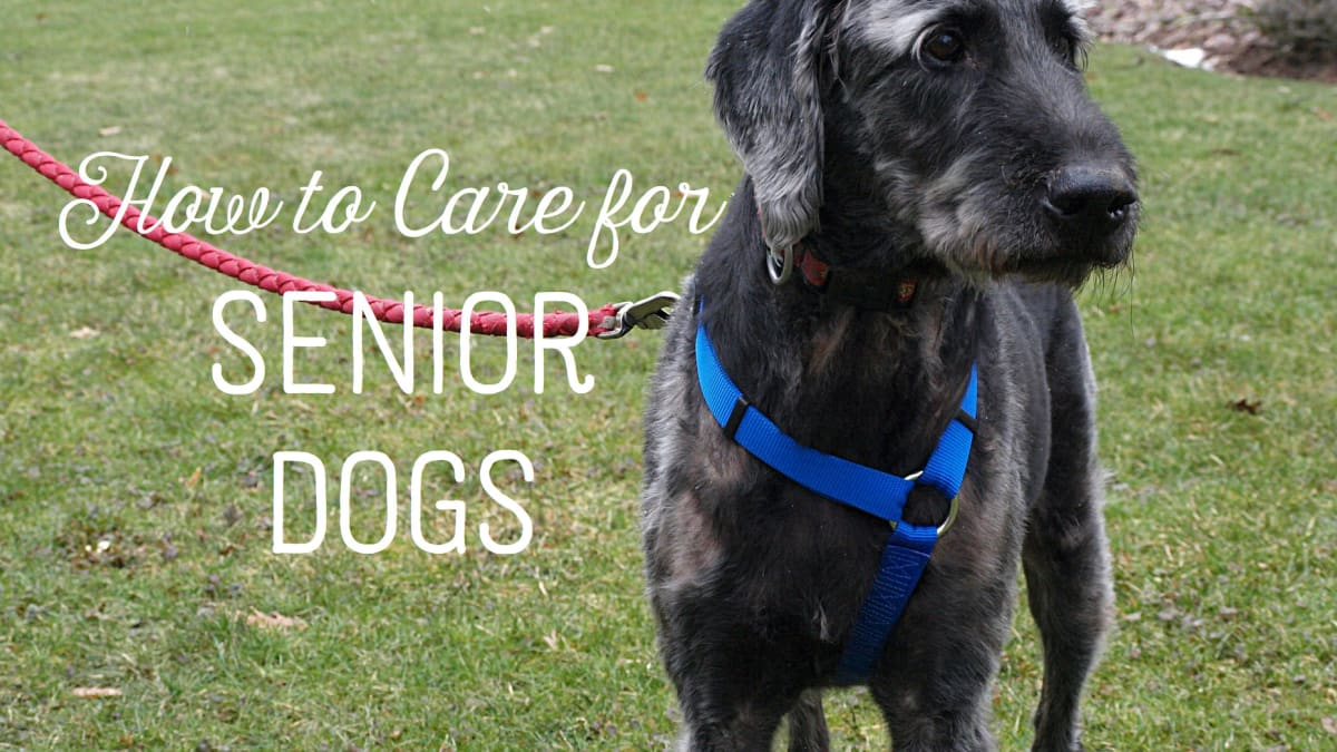 How To Care For An Elderly And Aging Dog Pethelpful
