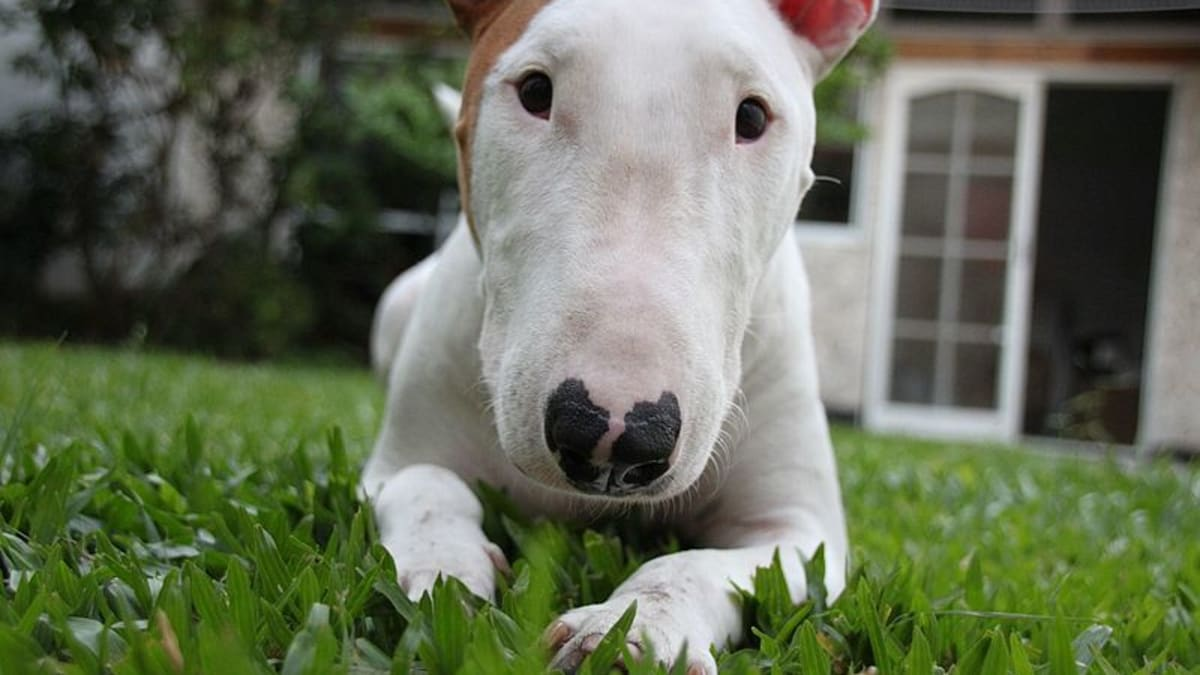 How To Buy A Bull Terrier And Not Get Scammed Pethelpful By Fellow Animal Lovers And Experts