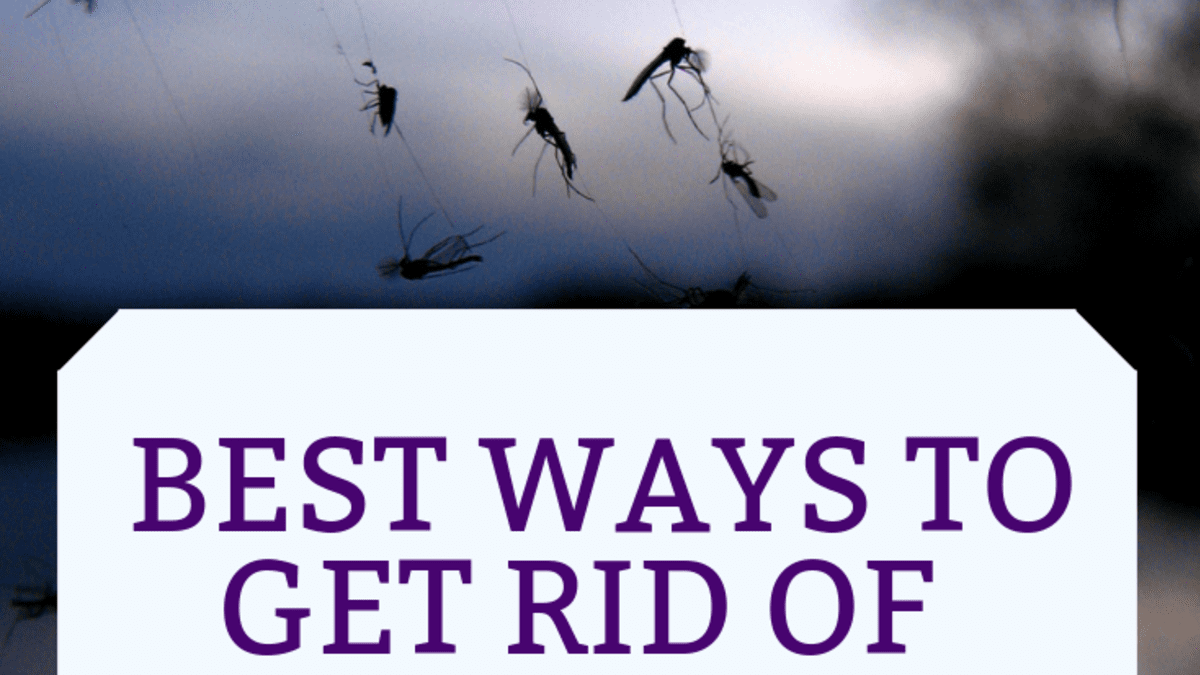 What Causes Gnats And How To Get Rid Of Them Dengarden