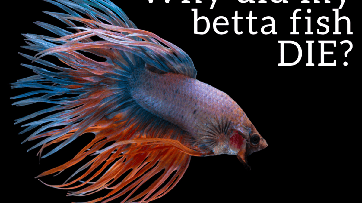 Dying why betta fish do my keep Why Do