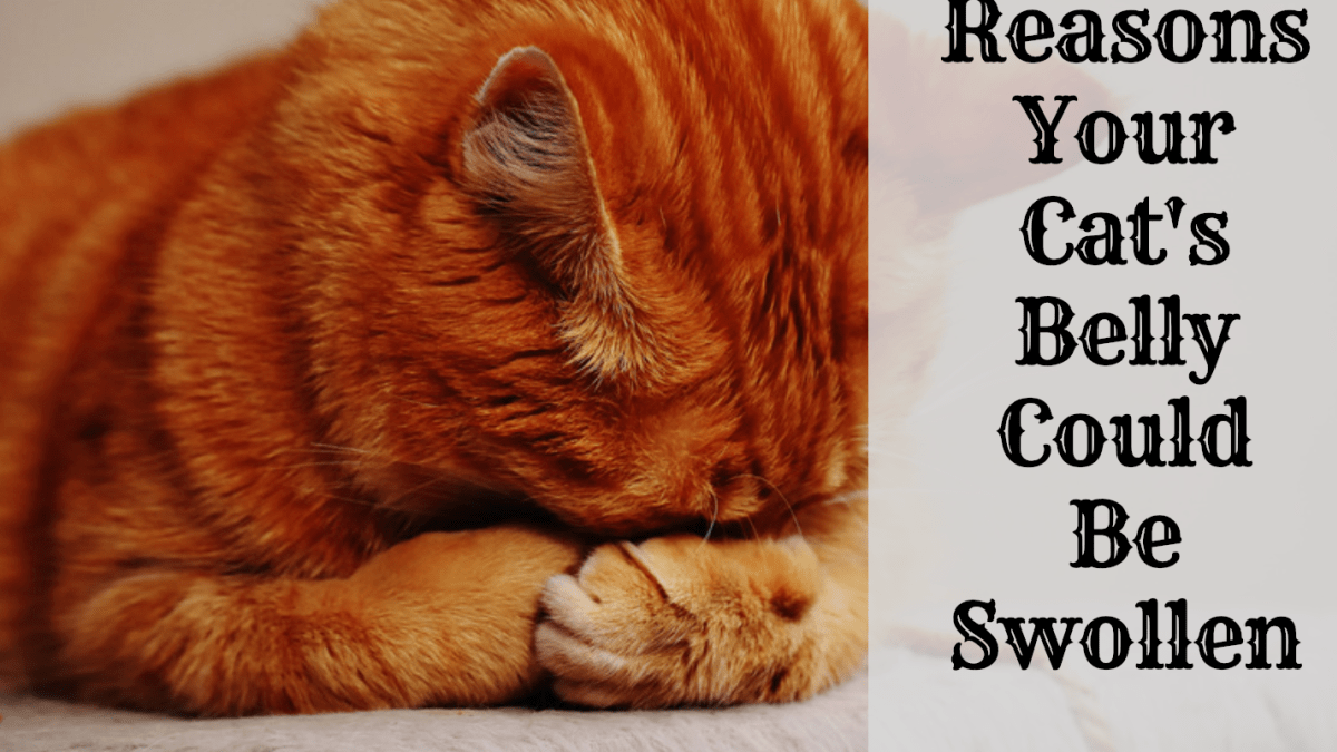 Possible Reasons Why Your Cat Has A Swollen Abdomen Or Belly Pethelpful By Fellow Animal Lovers And Experts
