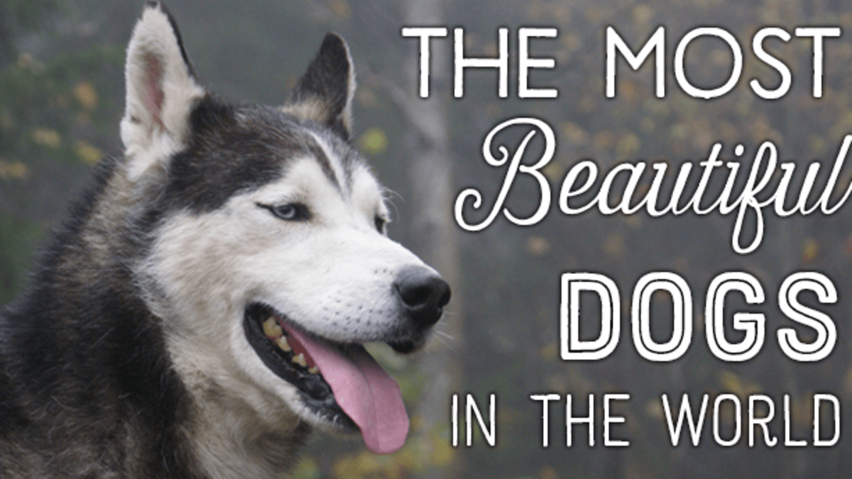 Top 10 Most Beautiful Dog Breeds Pethelpful By Fellow Animal Lovers And Experts