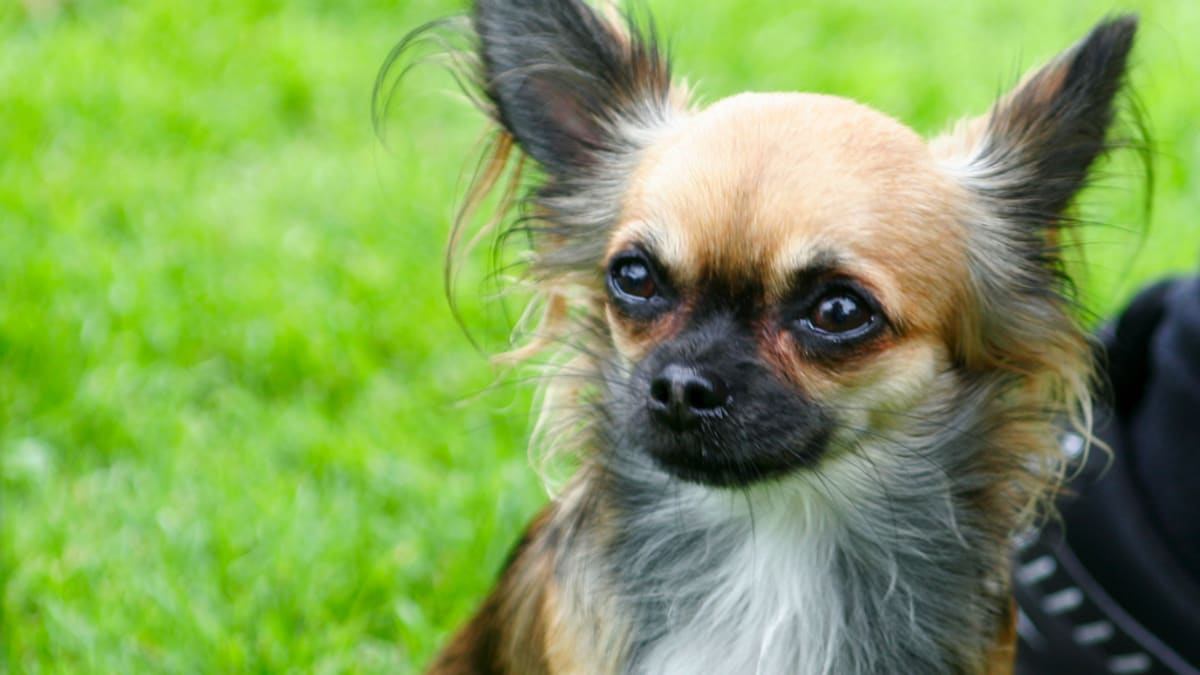 Chihuahua Names Male Female Cute And Mexican Pethelpful By Fellow Animal Lovers And Experts