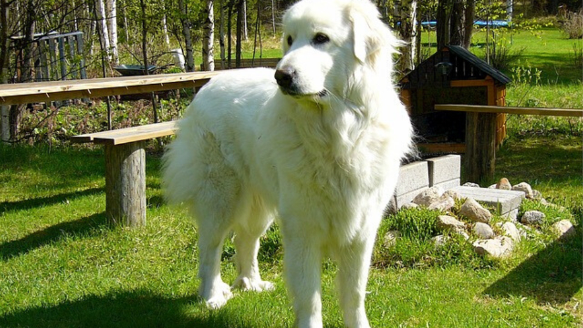How To Entertain A Great Pyrenees Activities For This Breed Pethelpful By Fellow Animal Lovers And Experts
