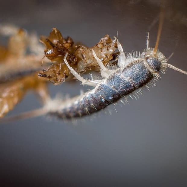 what-are-silverfish