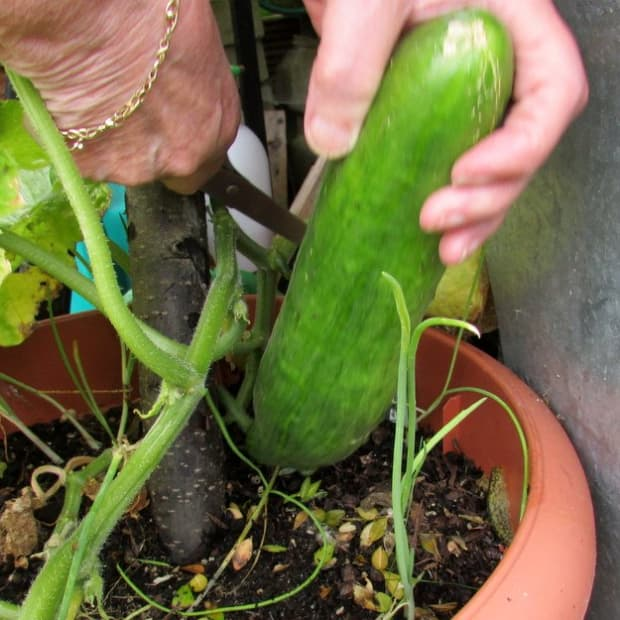 how-do-you-grow-cucumbers-in-pots-small-gardens-to-growing-garden-plant-need-produce-fruit-space