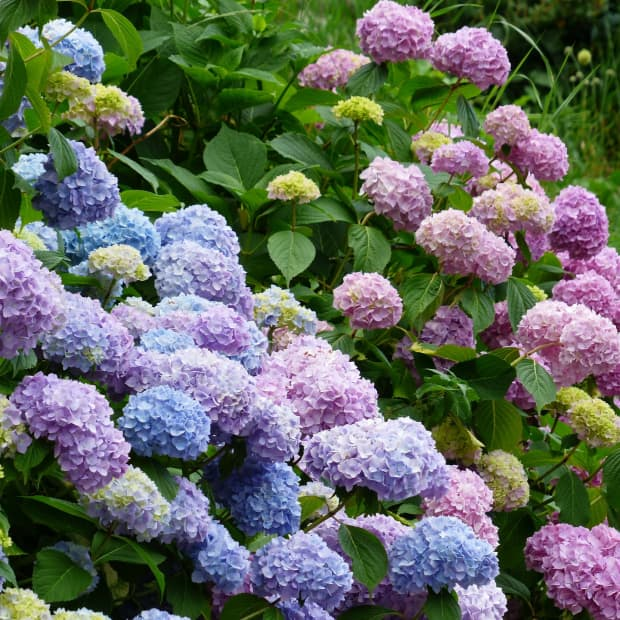 how-to-plant-hydrangeas