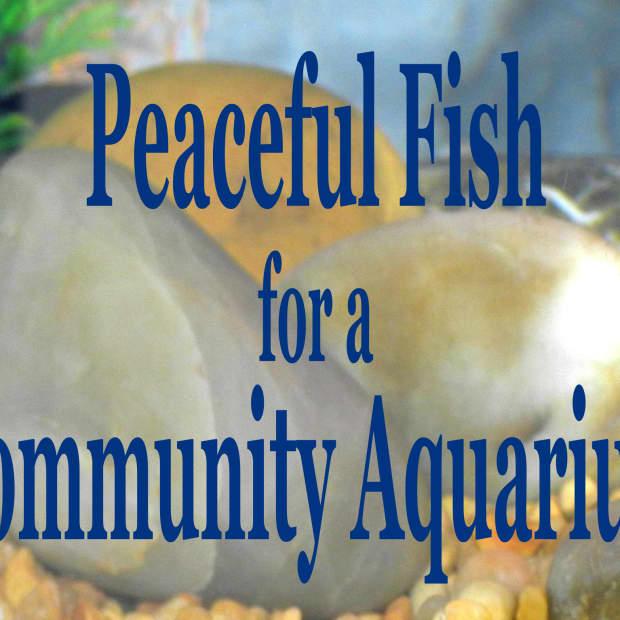 peaceful-community-fish-for-a-freshwater-aquarium