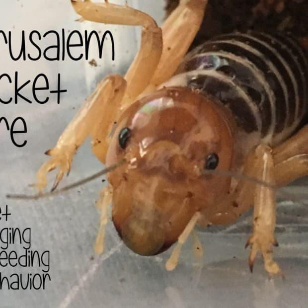 jerusalem-cricket-care