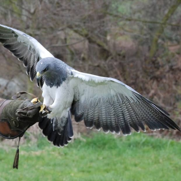 11-facts-about-the-most-ancient-sport-falconry