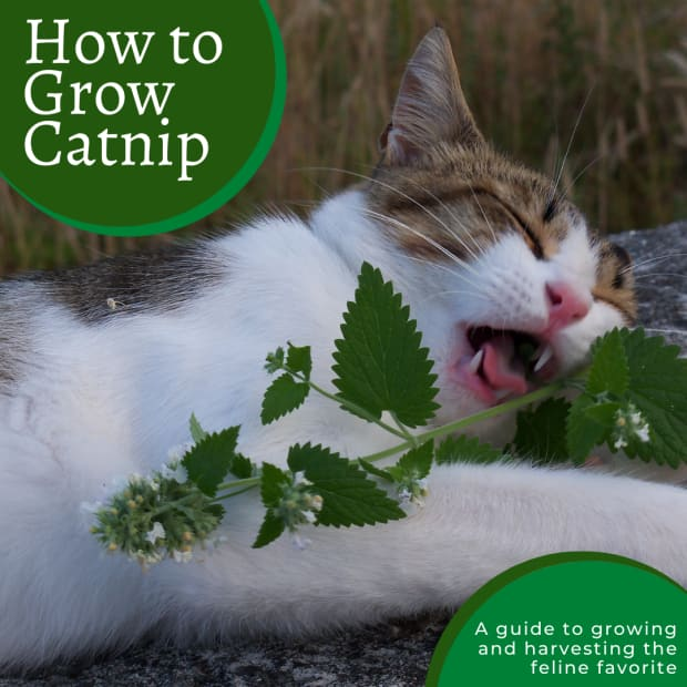 complete-guide-to-growing-catnip