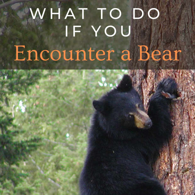 what-to-do-if-you-see-a-bear