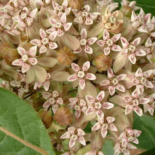 growing-milkweed-plants