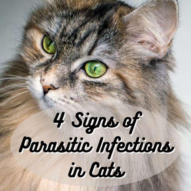 signs-of-parasite-infections-in-cats