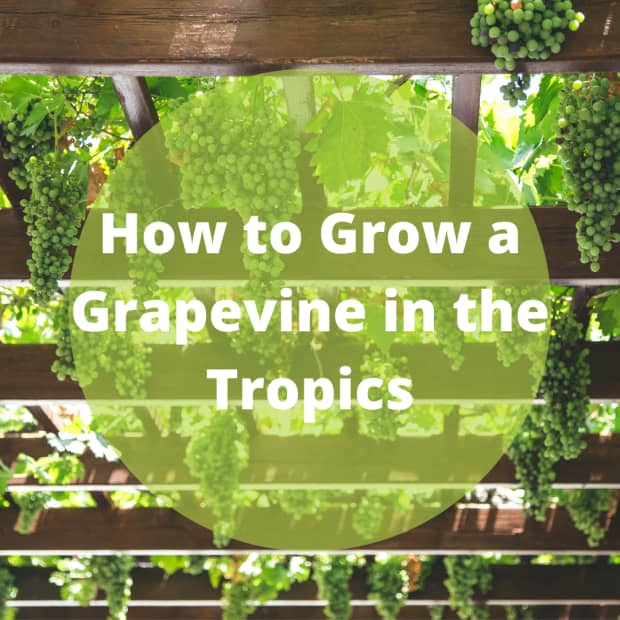 how-to-grow-a-grape-vine-in-the-tropics