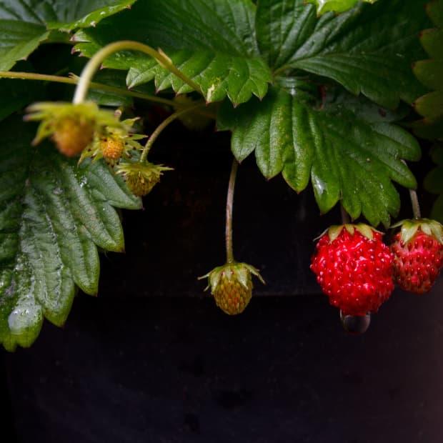 Strawberries ripening on a bush